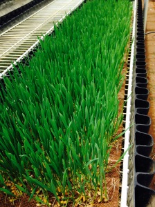 Wheatgrass grown just steps from my desk!